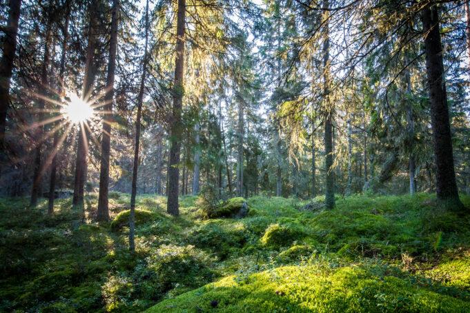 Solig skogsglänta med mossa. Aurinkoinen metsä, jossa paljon sammalta.